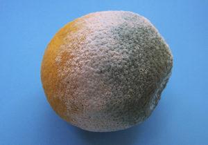limon con hongo