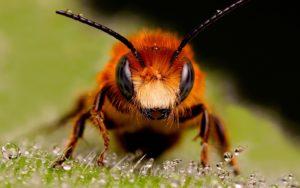 abejas en tomillo limonero