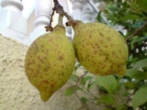 exocortis en limon