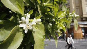 flor de azahar en las calles