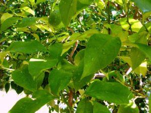 hojas de limonero
