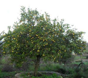 limonero en ambiente cálido