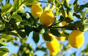 limonero árbol cítrico
