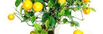 Bonsai limonero