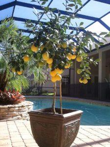 limonero en maceta y luz del sol
