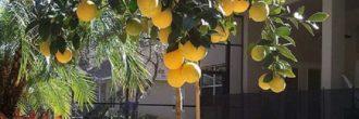 Trasplantar limonero