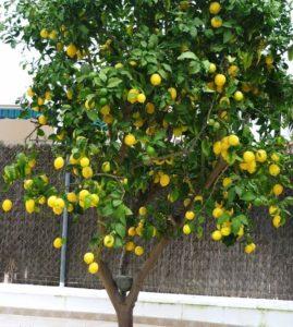 limonero eureka