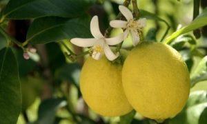 limonero flor y fruto