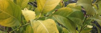 Limonero hojas amarillas