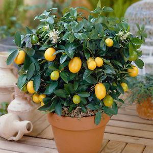 limonero miniatura