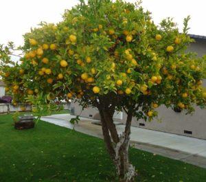 limonero pequeño