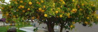 Limonero 4 estaciones