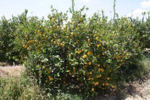 limonero primofiori