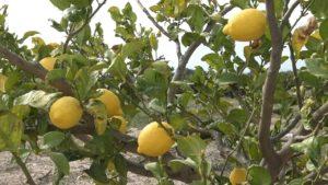 limonero verna