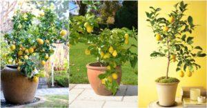 limoneros en macetas