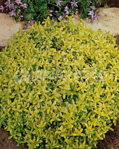 tomillo limonero amarillo